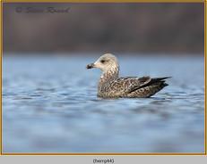 herring-gull-44.jpg