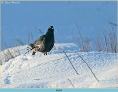 black-grouse- 90.jpg