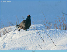 black-grouse- 90.jpg