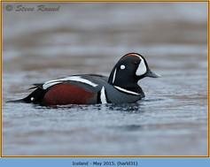 harlequin-duck-31.jpg