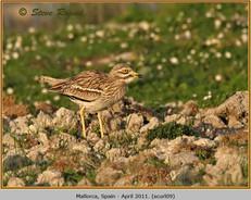 stone-curlew-09.jpg
