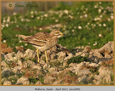 stone-curlew-09.jpg
