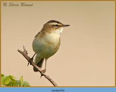 sedge-warbler-50.jpg