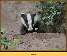 badger-04.jpg
