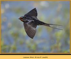swallow-24.jpg