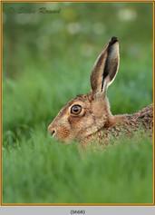brown-hare-68.jpg