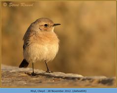 desert-wheatear-04.jpg