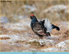black-grouse-127.jpg