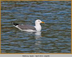 yellow-legged-gull-28.jpg