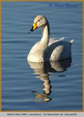 whooper-swan-09.jpg