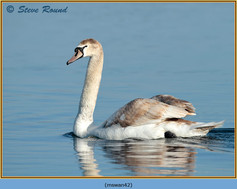mute-swan-42.jpg