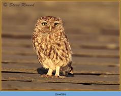 little-owl-26.jpg
