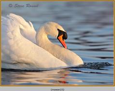 mute-swan-23.jpg