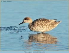 marbled-duck-11.jpg