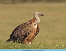 griffon-vulture-50.jpg