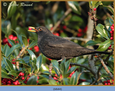 blackbird-84.jpg