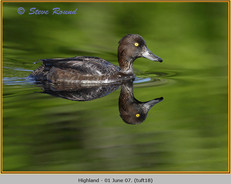 tufted-duck-18.jpg