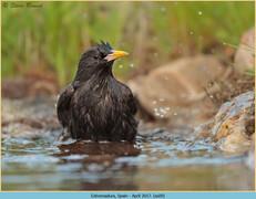 spotless-starling-09.jpg