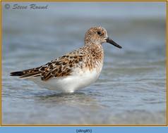 sanderling-85.jpg