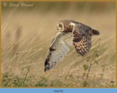 short-eared-owl-71.jpg