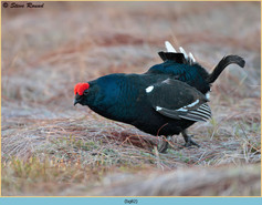 black-grouse- 82.jpg