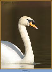 mute-swan-43.jpg