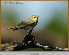 wood-warbler-39.jpg