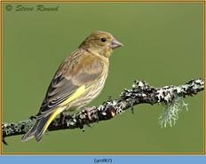 greenfinch-87.jpg