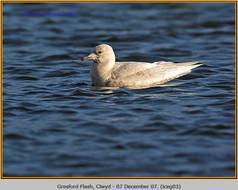 iceland-gull-03.jpg