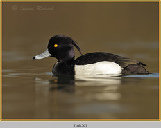 tufted-duck-30.jpg