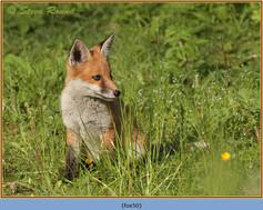 fox-50.jpg