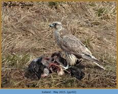 gyr-falcon-02.jpg