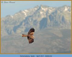 black-kite-16.jpg