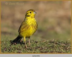 yellowhammer-40.jpg