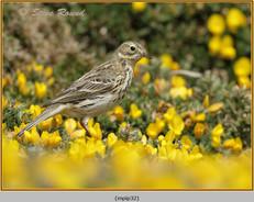 meadow-pipit-32.jpg