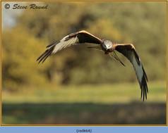 red-kite-64.jpg