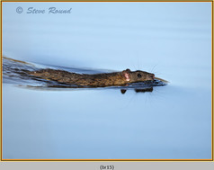 brown-rat-15.jpg
