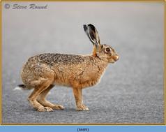 brown-hare-89.jpg