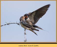 swallow-05.jpg