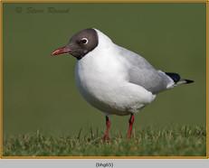 black-headed-gull-65.jpg