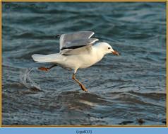 common-gull-37.jpg