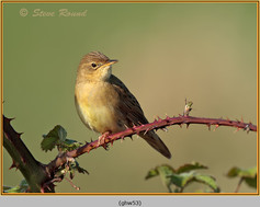 grasshopper-warbler-53.jpg