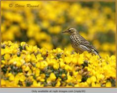 meadow-pipit-30.jpg