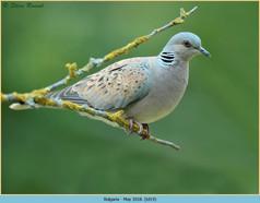 turtle-dove-19.jpg