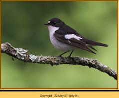 pied-flycatcher-14.jpg