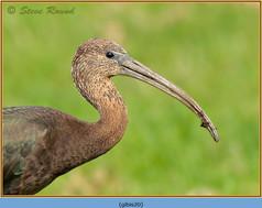 glossy-ibis-20.jpg