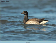 brent-goose-30.jpg