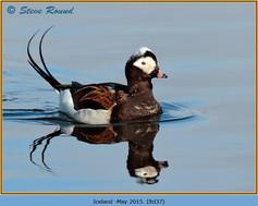 long-tailed-duck-37.jpg