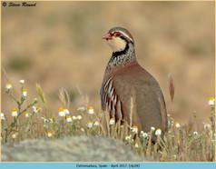 red-legged-partridge-28.jpg