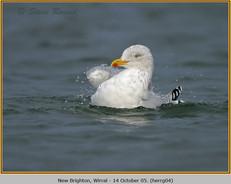 herring-gull-04.jpg